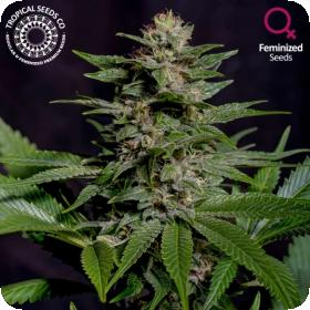 Biscuit Buster Feminised Seeds (Limited Edition)