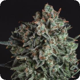 Blue Cheese x SCBDX Feminised Seeds