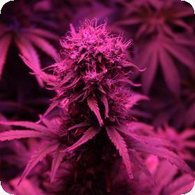 Blueberry Auto (formerly Blue Auto) Feminised Seeds
