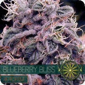 Blueberry Bliss AUTO Feminised Seeds