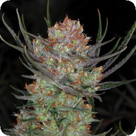 Brian Berry Cough Regular Seeds