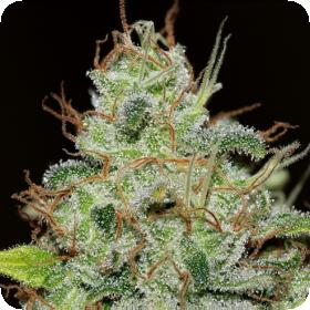 Bruce Banger Feminised Seeds