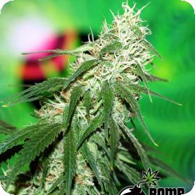 Buzz Bomb Regular Seeds