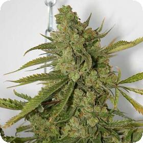 Cheese Dog Regular Seeds