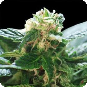 Colombian Gold Feminised Seeds