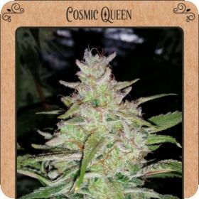 Cosmic Queen Auto Feminised Seeds