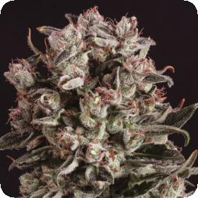 Critical Mass x SCBDX Feminised Seeds