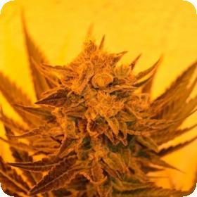 Critical Sour Diesel CBD Feminised Seeds