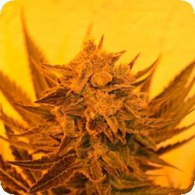 Critical Sour Diesel CBD Regular Seeds