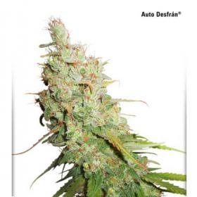 Desfran Auto Feminised Seeds