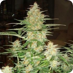 60 Day Wonder Auto Feminised Seeds