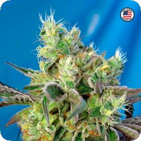 Do-Sweet-Dos Feminised Seeds