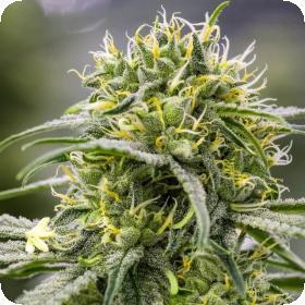 Durban-Thai x C99 Feminised Seeds