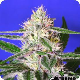 Edam Bomb Regular Seeds