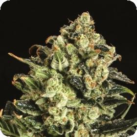 Emerald Jack x SCBDX Feminised Seeds