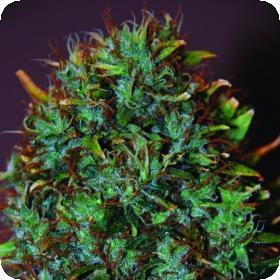 Expert Haze Feminised Seeds