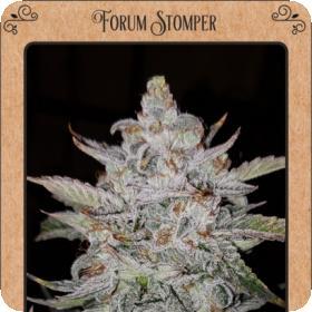 Forum Stomper Auto Feminised Seeds