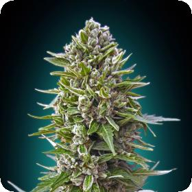 Automatik Collection #2 Feminised Seeds