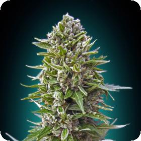 Auto Northern Lights Feminised Seeds