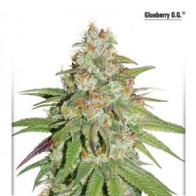 Glueberry O.G. Feminised Seeds