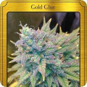 Gold Glue Auto Feminised Seeds