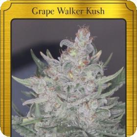 Grape Walker Kush Auto Feminised Seeds