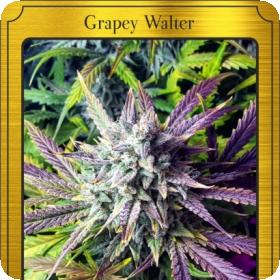 Grapey Walter Auto Feminised Seeds