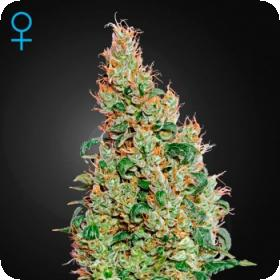 Green-O-Matic Auto Feminised Seeds