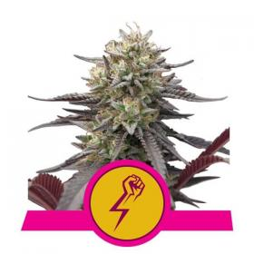 Green Punch Feminised Seeds