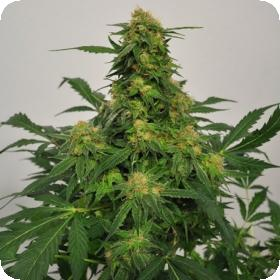 Harlequin Bx4 CBD Regular Seeds