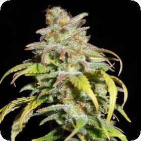 Harlequin CBD Feminised Seeds