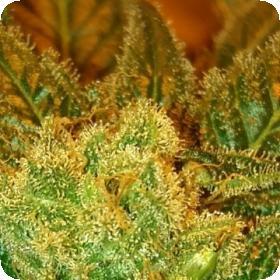 Holy Bubba Regular Seeds