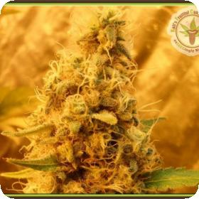 Jack Mist Tree Feminised Seeds