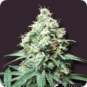 Kush Bomb Regular Seeds