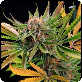 Mothertongue Regular Seeds