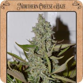 Northern Cheese Haze Auto Feminised Seeds
