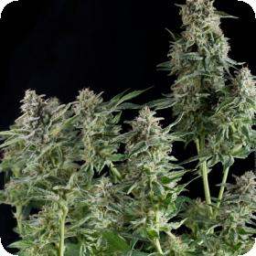 Northern Lights CBD Feminised Seeds