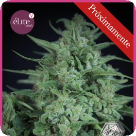Novarine THCV:THC Feminised Seeds