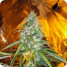 Original Sour Diesel Feminised Seeds