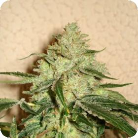 RoadDawg Regular Seeds