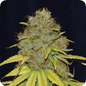 Jack Herer FAST Feminised Seeds