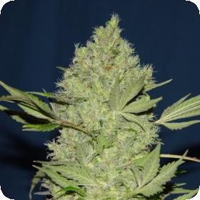 Serious  Cannabis  Seeds  Chronic  Topbud 0
