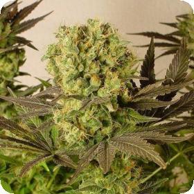 Serious  Cannabis  Seeds  Motivation  Regular  Cannabis  Seeds 0