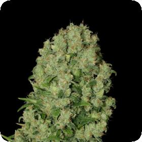 Serious  Cannabis  Seeds  White  Russian 0