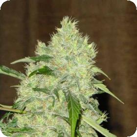 Serious  Cannabis  Seeds  Bubblegum 0