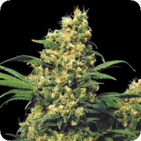 Warlock Regular Seeds