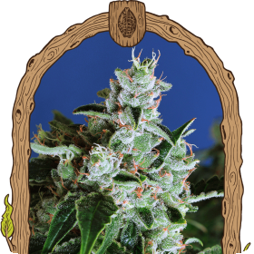 Sir Jack Auto Feminised Seeds