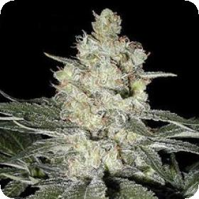 Original Skunk #1 Feminised Seeds