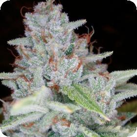 Skywalker  Kush  Feminised  Cannabis  Seeds  Dna  Genetics 0