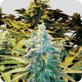 Snow White Regular Seeds